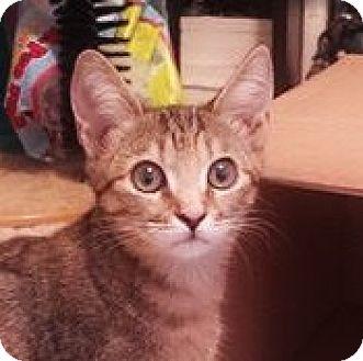 Domestic Shorthair Kitten for adoption in Burlington, North Carolina - BAYLEY