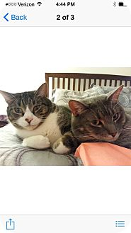 Domestic Shorthair Cat for adoption in Albany, New York - Maggie