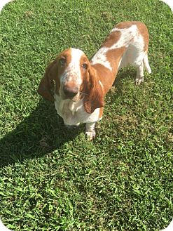 Basset Hound Dog for adoption in Russellville, Kentucky - Blue Belle