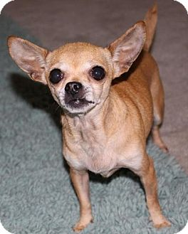 Chihuahua Dog for adoption in Durham, North Carolina - Abby