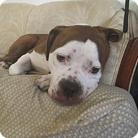 English Bulldog/Boxer Mix Dog for adoption in Northville, Michigan - COURTESY POST - Buddy Boy