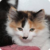 Adopt A Pet :: Amber - Butner, NC