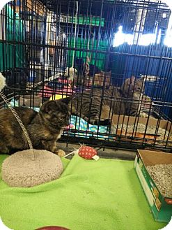 Domestic Shorthair Kitten for adoption in Avon, Ohio - Tarra
