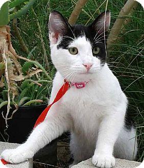 Domestic Shorthair Kitten for adoption in Irvine, California - OREO