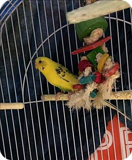 Parakeet - Other for adoption in Hyde Park, New York - Sunny