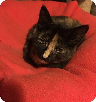 Domestic Shorthair Kitten for adoption in Toledo, Ohio - Kelsey