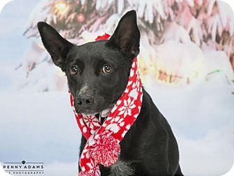 Australian Cattle Dog Dog for adoption in Franklin, Tennessee - FRANCES