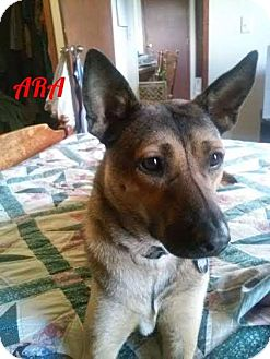 German Shepherd Dog Dog for adoption in New York, New York - Ara (A)
