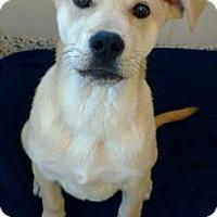 Labrador Retriever Mix Puppy for adoption in Aiken, South Carolina - Harley