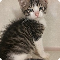 Adopt A Pet :: Stripes - Walnut Creek, CA