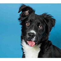 Adopt A Pet :: COSMO - Olivette, MO