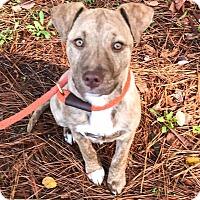 Adopt A Pet :: Lilly - Suwanee, GA