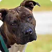 Adopt A Pet :: BOSSY - Brooksville, FL