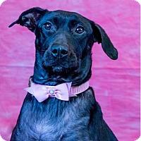 Labrador Retriever Mix Dog for adoption in Shakopee, Minnesota - Shadow D1459