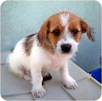 crosby adopted puppy los angeles ca lhasa apso jack