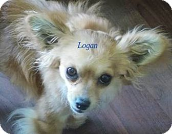 Chihuahua Mix Dog for adoption in San Diego, California - Logan