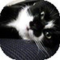 Adopt A Pet :: Loki - Vancouver, BC