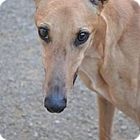Adopt A Pet :: Eddy (Seegold Predator) - Chagrin Falls, OH
