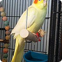 Adopt A Pet :: Hayden - Shawnee Mission, KS