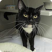 Adopt A Pet :: Sneezels - Gilbert, AZ