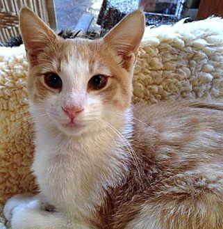 Domestic Shorthair Cat for adoption in Santa Fe, New Mexico - Rocio