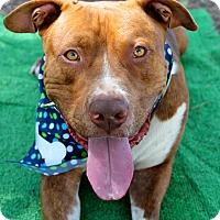 Adopt A Pet :: Koa - Watch my Video! - Bend, OR