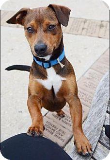 Dachshund/Chihuahua Mix Dog for adoption in Fredericksburg, Texas - Tex
