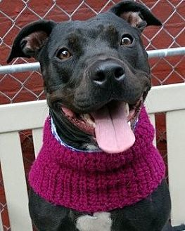 American Pit Bull Terrier/Labrador Retriever Mix Dog for adoption in Staten Island, New York - Zoey *URGT* IMMED FOSTER NEEDED*