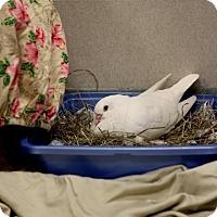 Adopt A Pet :: KOSH - Boston, MA