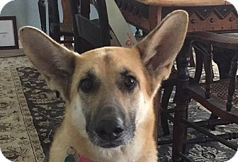 German Shepherd Dog Dog for adoption in Dripping Springs, Texas - Aggie