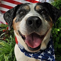 Beagle/Cattle Dog Mix Dog for adoption in Fairfax Station, Virginia - Blue Girl