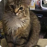 Domestic Longhair Cat for adoption in St. Charles, Missouri - Elliott