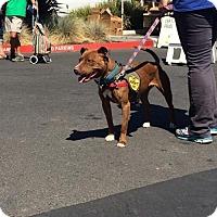 Pit Bull Terrier Dog for adoption in Petaluma, California - Ms. Beasley - 15281