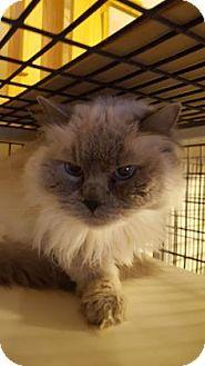 Ragdoll Cat for adoption in Tucson, Arizona - Sasha