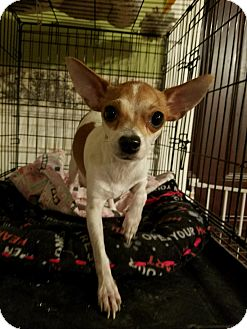 Rat Terrier/Chihuahua Mix Dog for adoption in Lodi, California - Bambi