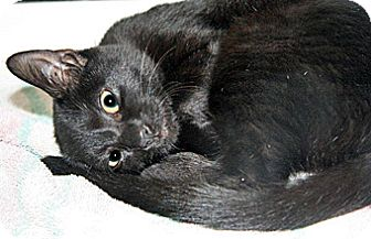 Domestic Shorthair Kitten for adoption in Wildomar, California - Rachel