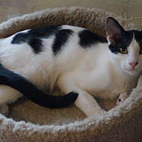 Domestic Shorthair Cat for adoption in Alhambra, California - Nova