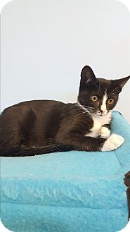 Domestic Shorthair Kitten for adoption in Circleville, Ohio - Kelly
