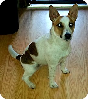 Jack Russell Terrier Mix Dog for adoption in Elyria, Ohio - Trixie