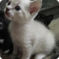 Adopt A Pet :: Giggles - Orlando, FL