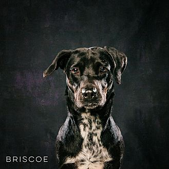 Labrador Retriever/Hound (Unknown Type) Mix Dog for adoption in Houston, Texas - Briscoe