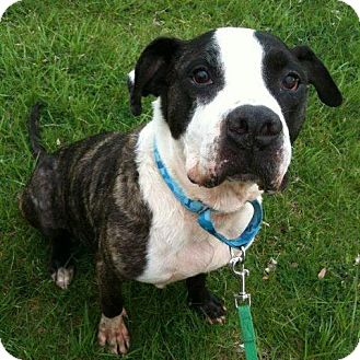 Big Boy   Adopted Dog   Park Ridge, NJ   American Bulldog ...