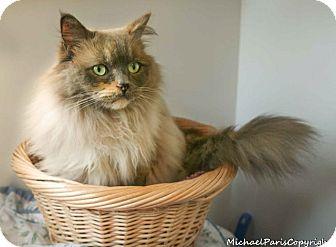 Ragdoll Cat for adoption in Davis, California - Lulu