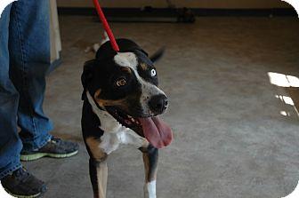 Rottweiler/Husky Mix Dog for adoption in San Antonio, Texas - Daimond