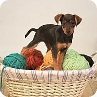 Adopt A Pet :: Theo - Hilliard, OH