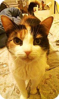 Domestic Shorthair Cat for adoption in Burlington, Ontario - Tinkerbelle