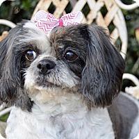 Adopt A Pet :: Lulu - Irvine, CA