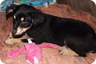 Collie/Mountain Cur Mix Puppy for adoption in Mechanicsburg, Pennsylvania - Erin