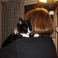 Domestic Shorthair Cat for adoption in Staunton, Virginia - Domino