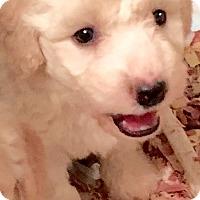 Adopt A Pet :: APPLE(OUR GOLDENDOODLE! AWWWW - Wakefield, RI